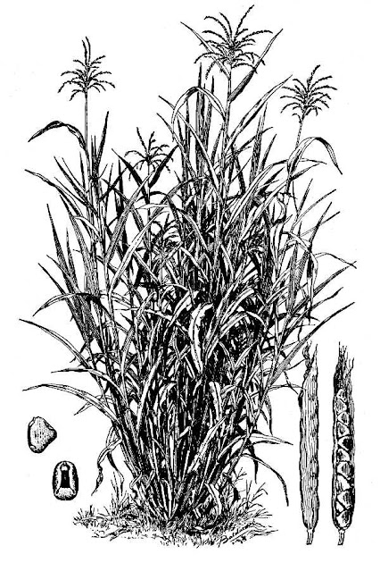 maiz Teosinte