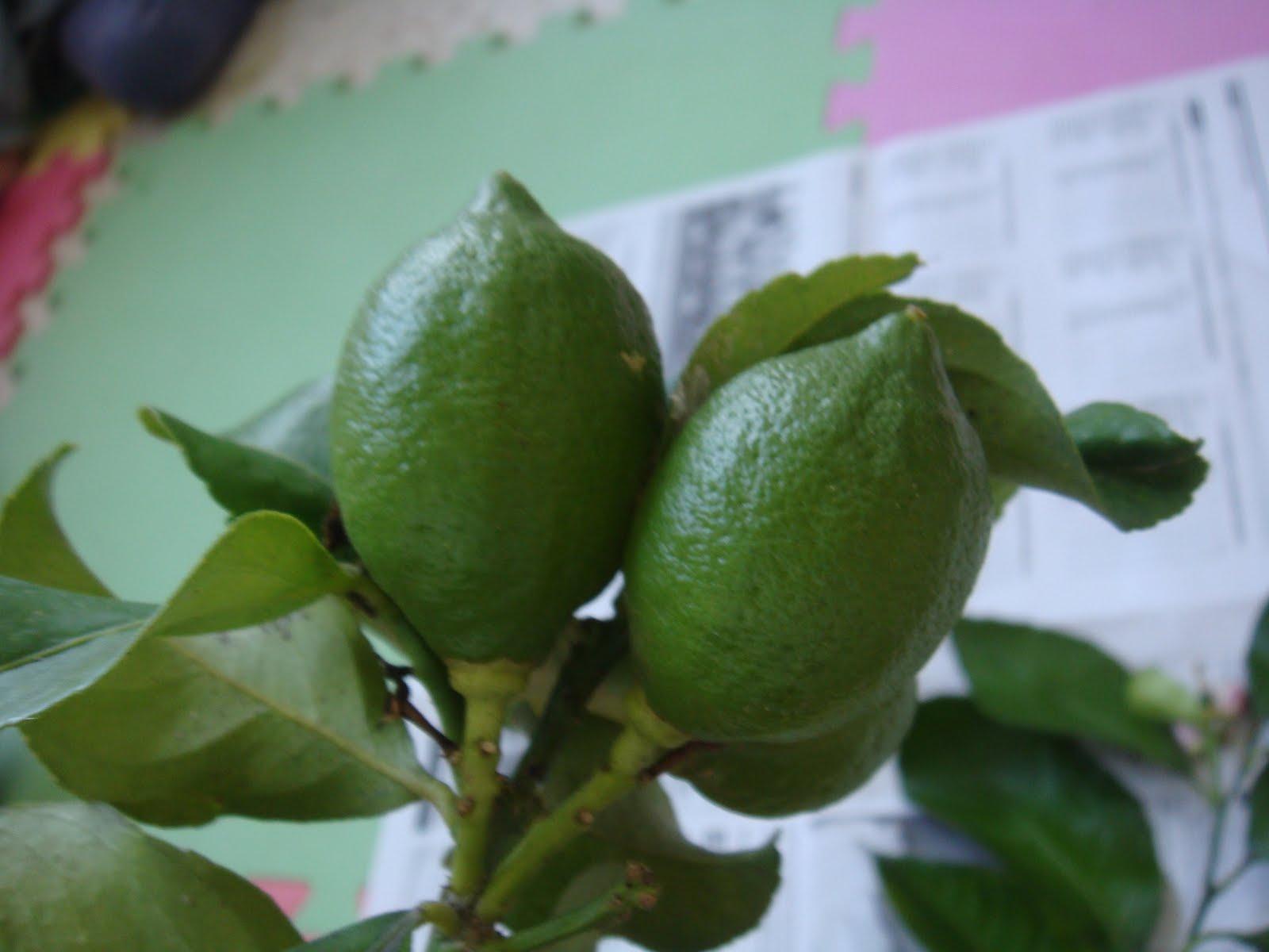 Erase una vez una casita encantada rboles de hoja for Arboles frondosos de hoja perenne