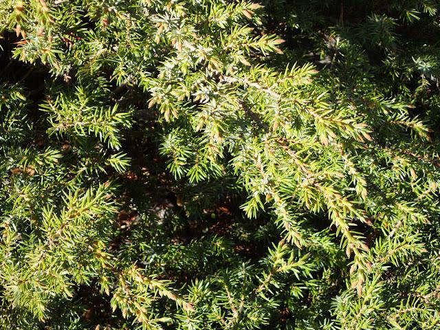 Juniperus communis nana