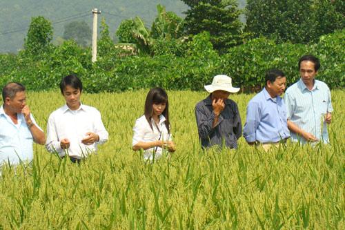 Đồng lúa gạo nếp cái hoa vàng ở Kinh môn