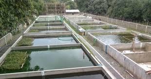 Ukuran Kolam Pembesaran Ikan Nila Yang Ideal Agar Cepat Panen