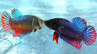 Cara memilih ikan cupang aduan