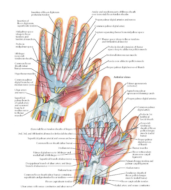 Wrist and Hand: Deeper Palmar Dissections Anatomy