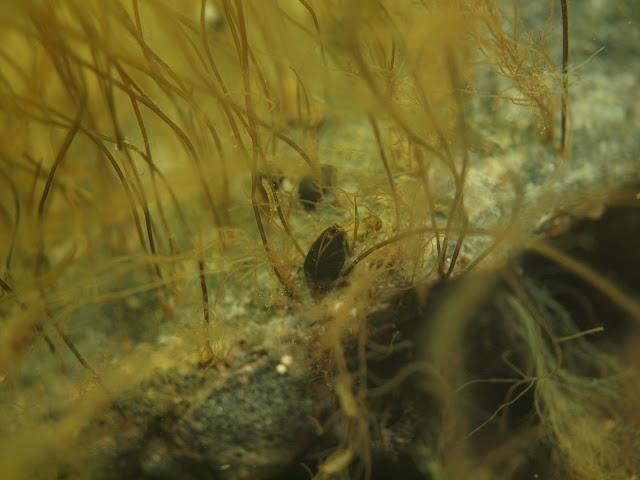 Simpukka ja nauhamaisia leviä kivellä veden alla