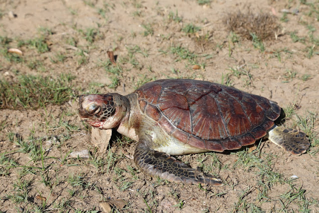 Died turtle at Tana River counties photo