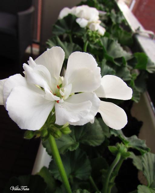 Valkoinen-Pelargonia.jpg