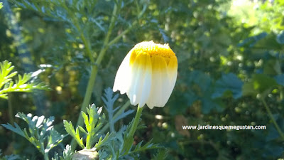 Margarita (Chrysanthemum coronarium),hierba espontánea