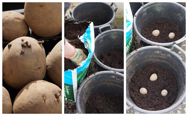 planting spuds in pots - a stubborn optimist blog - C Gault 2020