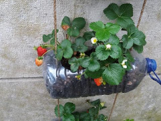 morango-cultivado-em-garrafa-pet