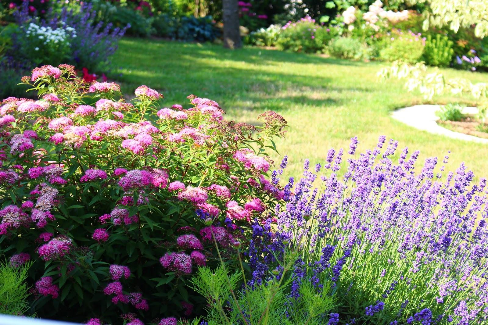 roses du jardin ch neland spiraea japonica shirobana. Black Bedroom Furniture Sets. Home Design Ideas