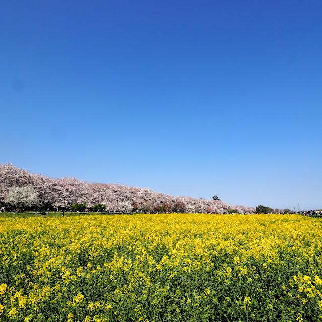 権現堂桜堤 菜の花
