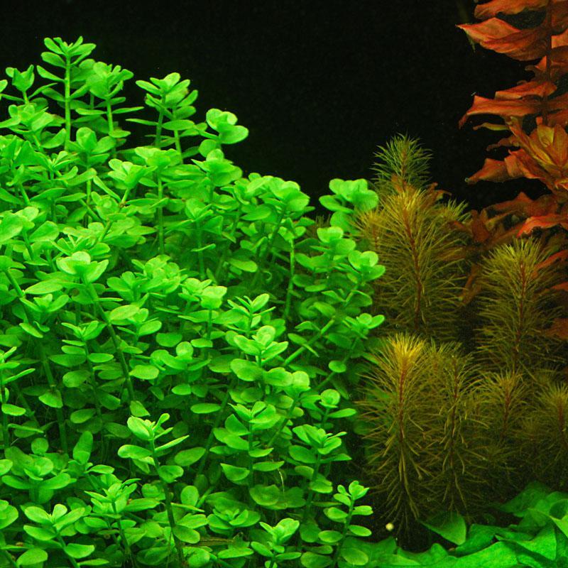 cây thủy sinh lệ nhi - một loại cây hậu cảnh trong bể thủy sinh