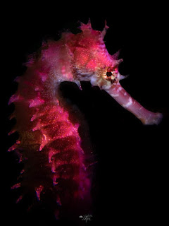 "Cheval de mer ! "" hippocampe """