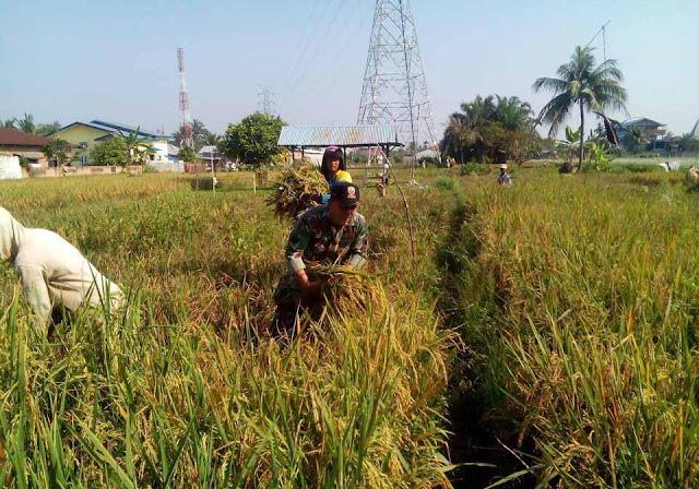 Masa Panen Tiba di Kota Binjai, Serka Arnold Silalahi Dampingi Petani