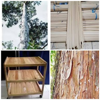 Mengenal kekurangan dan kelebihan kayu ramin serta manfaatnya yang jarang orang tahu