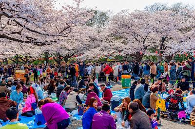 Indahnya Bunga Sakura Jepang