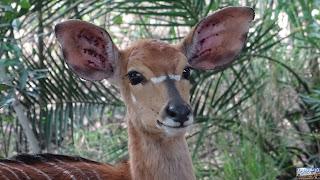 Safari Mkhaya Game Reserve du Swaziland Nyala
