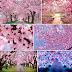 Cherry blossoms in Benguet province will soon boost local tourism in the Philippines