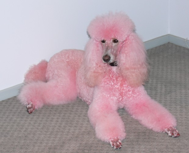 Cute Dogs Pink Poodle Dog