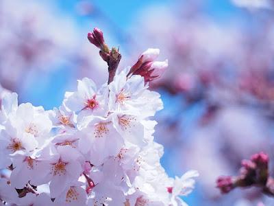 ソメイヨシノ_桜