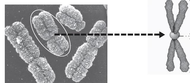 Gambar  . Kromosom