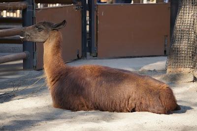 上野動物園のラマ