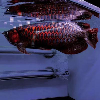Tips Memilih Akuarium Untuk Ikan Hias