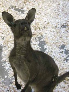 A Western Grey Kangaroo At The Toronto Zoo.