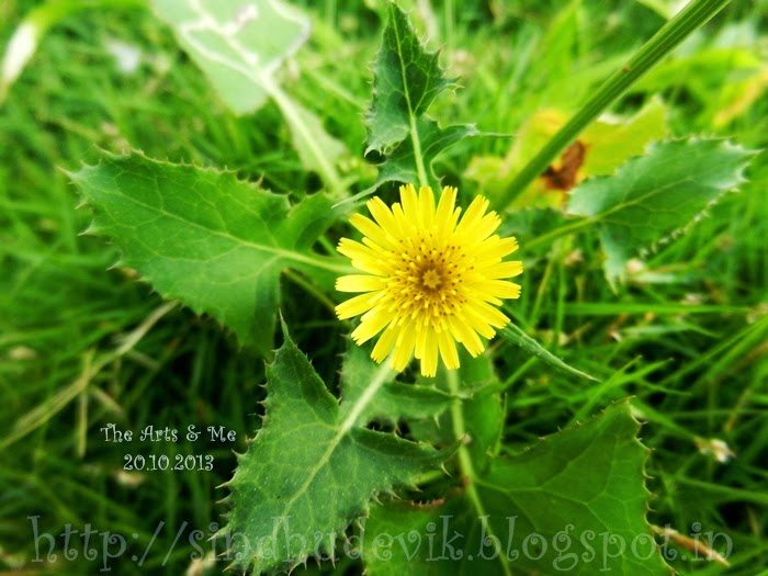 False Dandelion or Hawk's Beard Flower and leaves