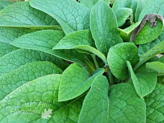 Comfrey plant growing in a garden