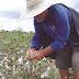 Plantio do algodão volta ao Cariri após quase quatro décadas