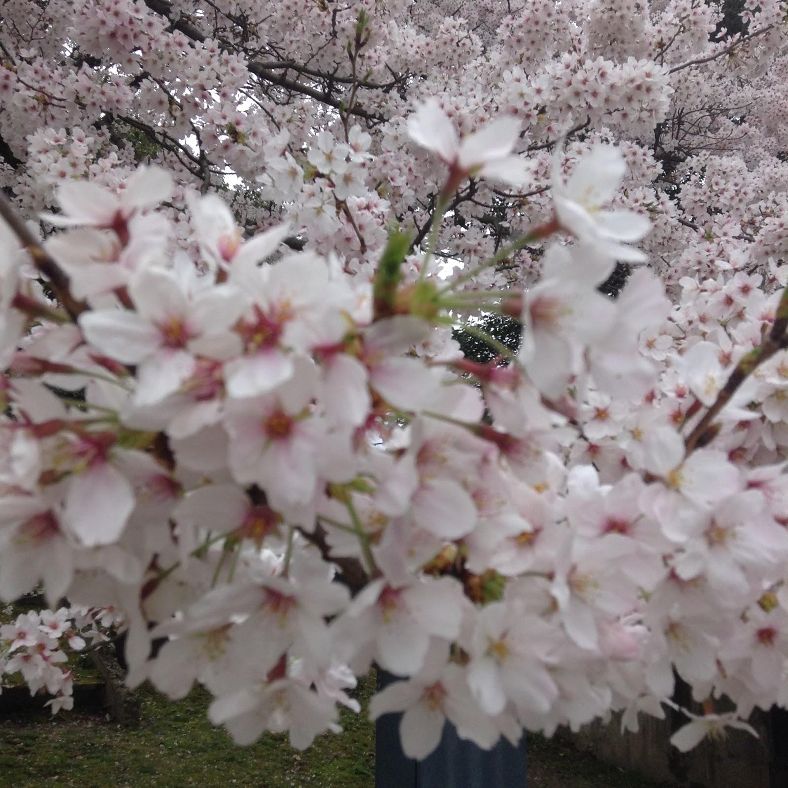 Hiroshima castle sakura