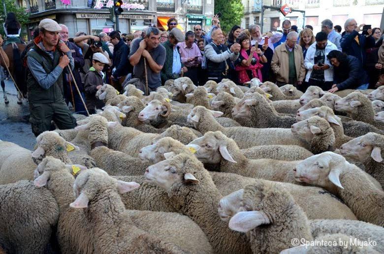 Fiesta de la Trashumancia Madrid  羊飼いのしじに静かに従う羊の群れ