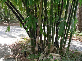 bamboo-ampel,www.healthnote25.com