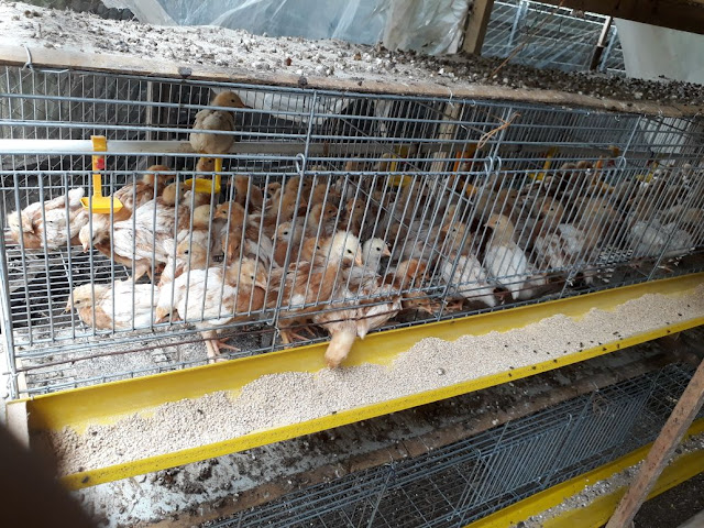 Ayam Petelur di kandang Grower