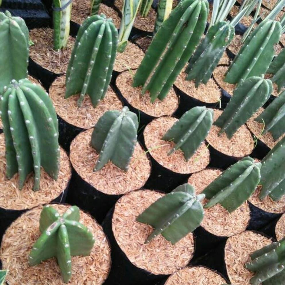 Kaktus koboi kaktus belimbing 20cm Pekanbaru