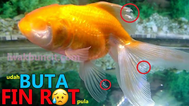 Fin Rot: Penyakit Menular dan Mematikan pada Ikan Mas Koki