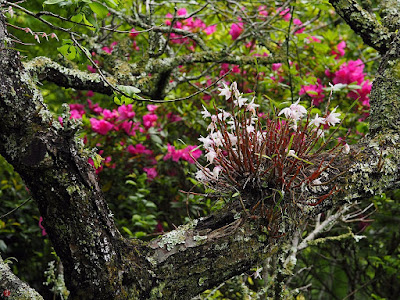 Sekkoku (Dendrobium moniliforme) flowers: Engaku-ji