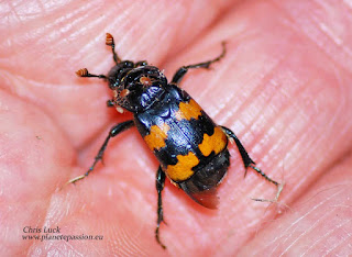 Nicrophorus vespillo, burying beetle with mites in France