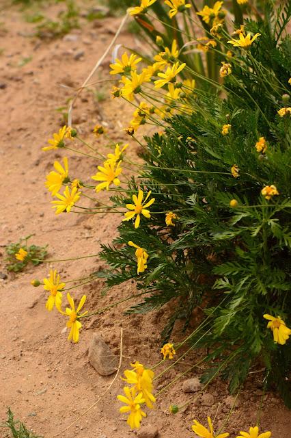 small sunny garden, desert garden, amy myers, photography, about the garden, plant selection, argyranthemum frutescens, marguerite daisy