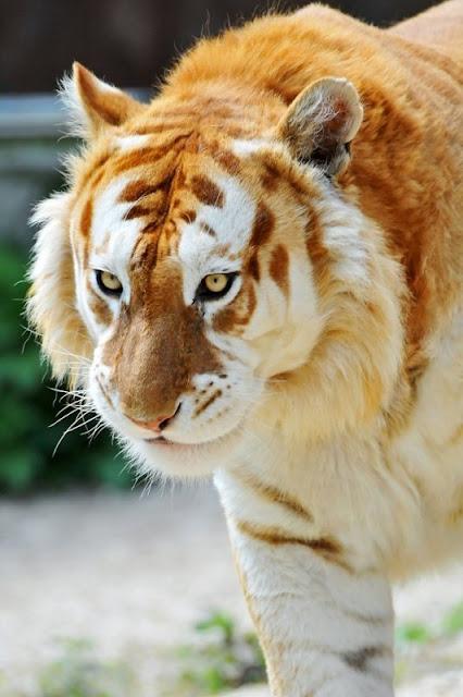 Um tigre de ouro
