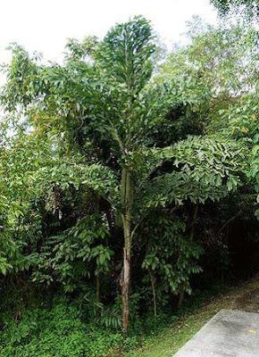 pohon uduh