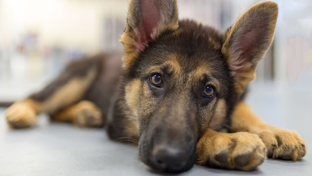 How to take care of your German Shepherd in the Heat cycle?