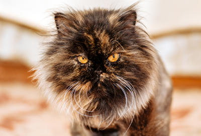 Tortoiseshell Cats: What Makes This Breed So Special-Fascinating Facts