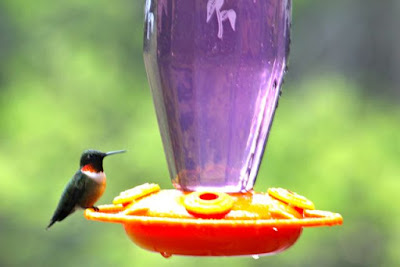 hummingbird at feeder, early May last year