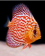 Sejarah Ikan Hias Discus loreng