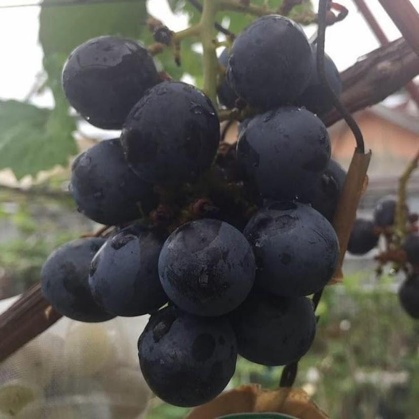 Bibit anggur black panther VALID Jawa Timur