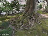 Tree roots on forest floor - Kenroku-en Garden, Kanazawa, Japan