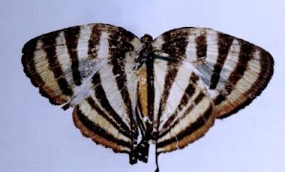 Mariposa rayadita del monte (Arawacus aetolus)