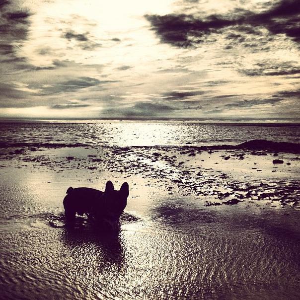 photo de Bob notre bouledogue français sur la plage